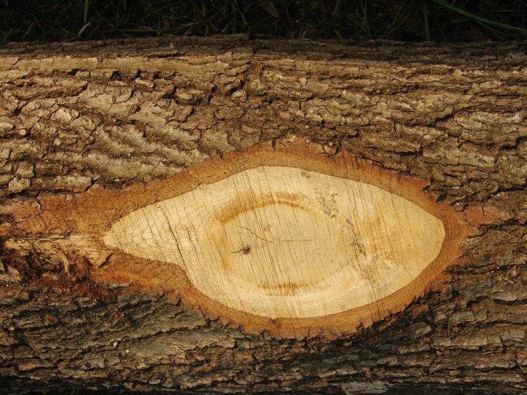 Sęk otwarty - bez wątpienia najpoważniejsza wada drewna okrągłego