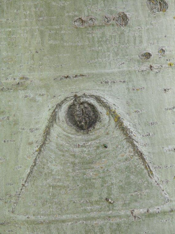 Sęki - brewki na osice jako przykład sęka zarośniętego