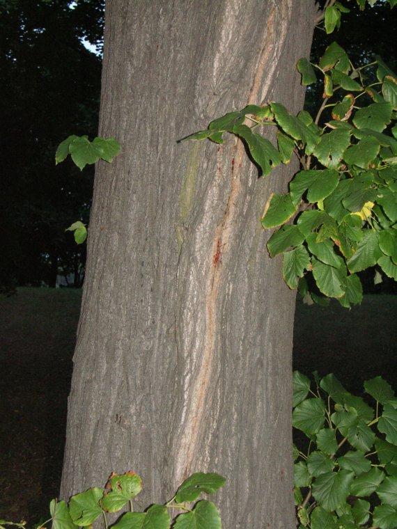 Pęknięcie mrozowe z widoczną listwą mrozową jako przykład pęknięć