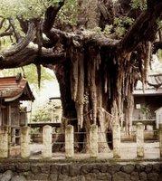 <center>1200-letni miłorząb<br>w Sendai (Japonia)</center>