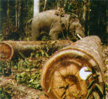 W pracach leśnych wciąż<br>wykorzystywane są słonie<br>fot. Myanmar Ministry of Forest