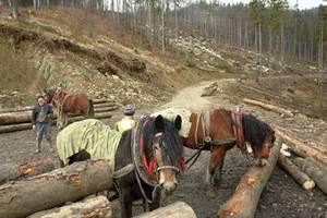 Około 160 koni zrywkowych pracuje teraz w Ujsołach.