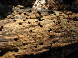 Drewno zniszczone przez owady-  techniczne szkodniki drewna