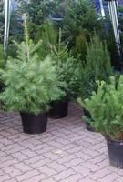 Coraz więcej osób kupuje żywe drzewka w doniczkach