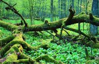 <small><FONT color=gray>©WWF Polska<br> Puszcza Białowieska <br>- o jej unikalnym charakterze <br>stanowią naturalne procesy<br> trwające bez ingerencji<br> człowieka.</font></small>