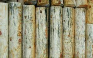 Drewno zarażone sinizną