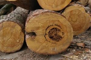 Zgnilizna surowca drzewnego, która rozwinęła się jeszcze w stojącym drzewie