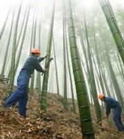 Plantacja bambusa
