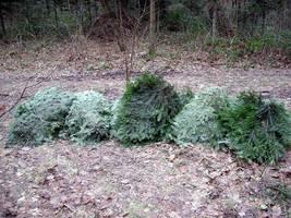 Igliwie, zwane stroiszem, skradzione z lasu do wyrobu ozdób, głównie nagrobnych