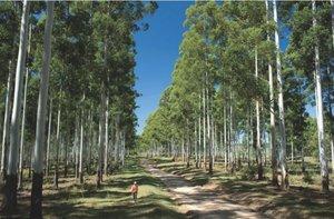 Plantacje eukaliptusa Red Grandis w Urugwaju