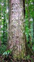 Drzewo gommier charakteryzuje się prostym i długim pniem