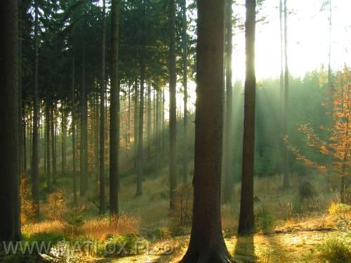 sprzedam 40 letni las sosnowy