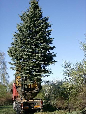 Nasadzeń dużych drzew iglastych i liściastych