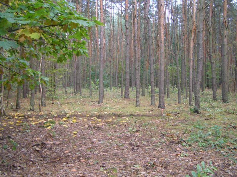 Sosna 100 szt, drewno sosnowe, W-wa śr.14-36 cm