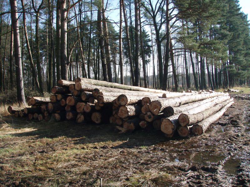 Drewno sosnowe wielkowymiarowe