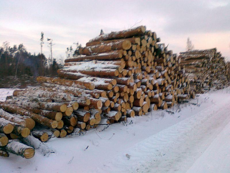 surowiec sosna - Litwa