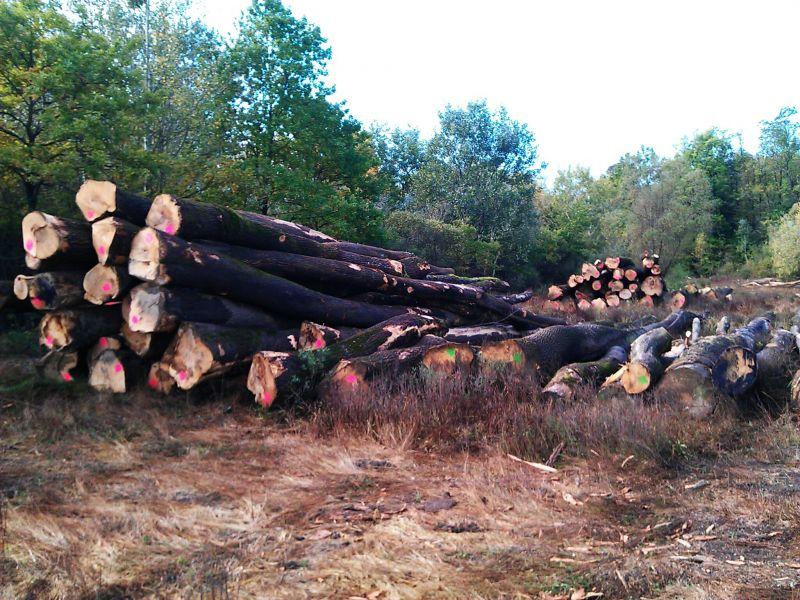 350 m3 świeżo ściętego drewna okrągłego jesionu