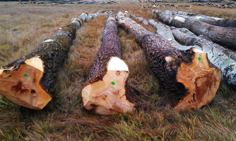topola drewno okrągłe