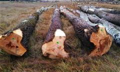 TOPOLI drewna okrągłego od 37 Eur
