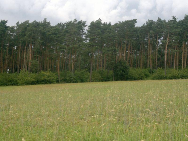 Drzewo budulcowe-Las sosnowy budulec 3.4 ha tartaczny ponad 150 lat 330 złm3
