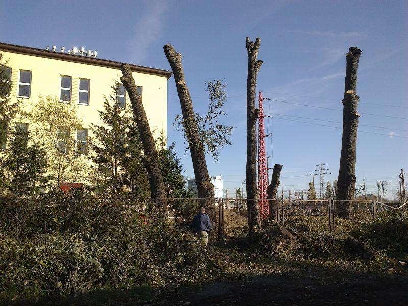 Topola drewno dłużyca kominkowe na pniu Warszawa