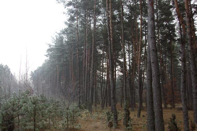 Las sosnowy na pniu 80 letni