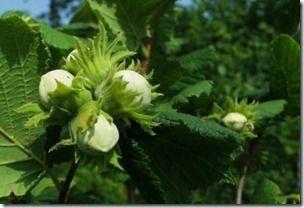 Ukraina.Do darmowego odbioru surowce lecznicze sosny syberyjskiej,kora,zywica.Odpady po okorowaniu drzew