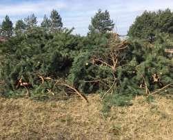 Gałęzie sosnowe - biomasa 500 m3