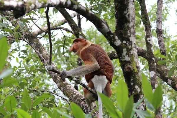 Nosacze to małpy o charakterystycznym wyglądzie. Większość ich twarzy zajmuje im ogromny kulfoniasty nos, który jest szczególnie duży u samców.