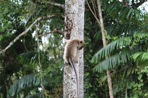 Makak świetnie sobie radził z wspinaczką po kolczastym pniu palmy.