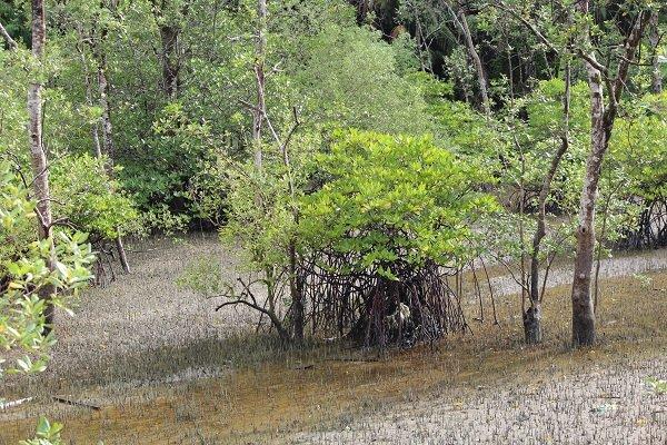 Lasy namorzynowe podczas przypływu zalewane są przez morze.
