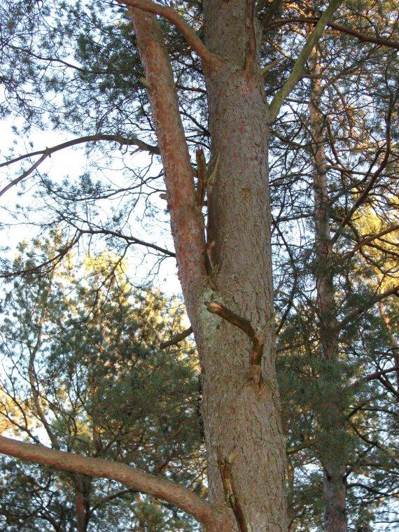 'Wwielordzenność rzekoma'' widoczna jest na przekroju poprzecznym pnia w miejscu skośnie wyrastającej gałęzi