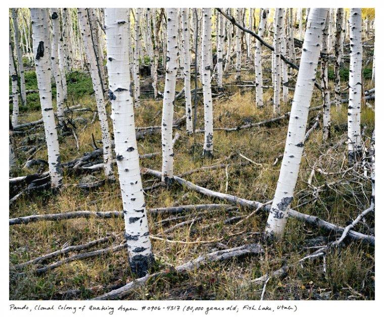 Pando - najstarsze i najcięższe drzewo na świecie