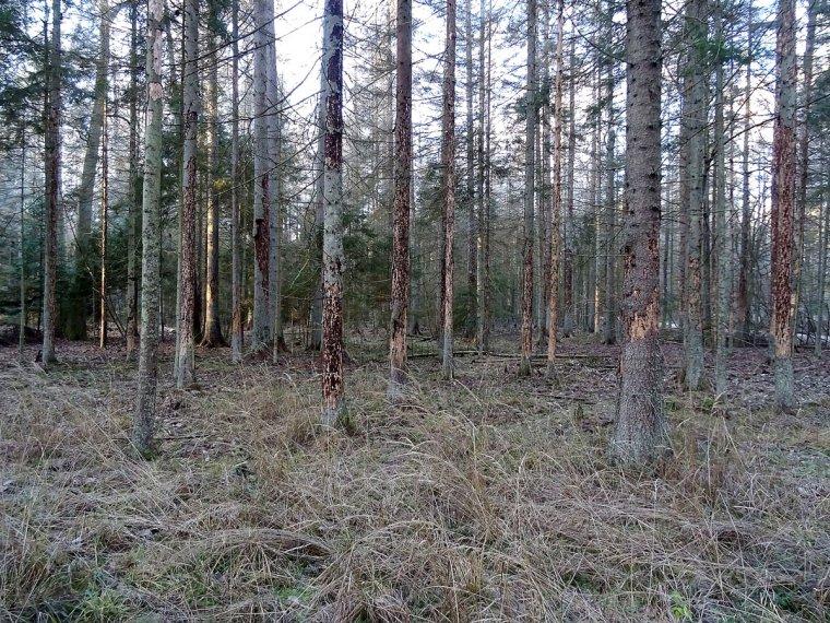 Lasy Państwowe pozostawią większy obszar Puszczy Białowieskiej bez ingerencji człowieka