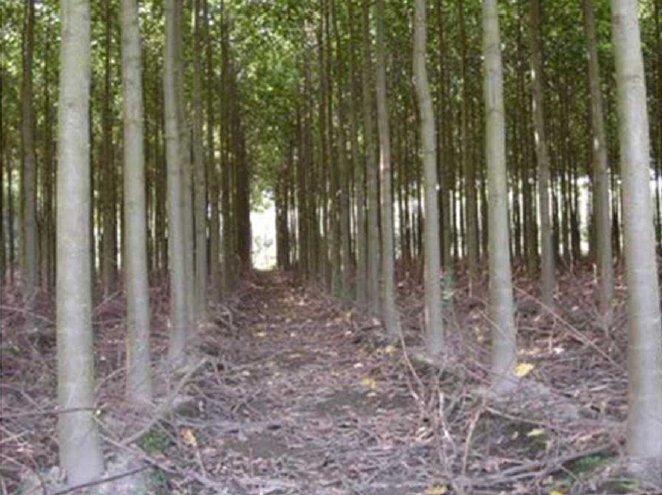 Sześcioletnia plantacja drzew Oxytree