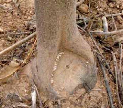 Po ścięciu drzewo Oxytree odrasta
