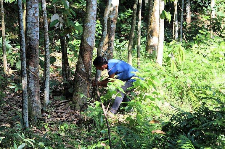 Pracownik plantacji wykonujący nacięcie na korze