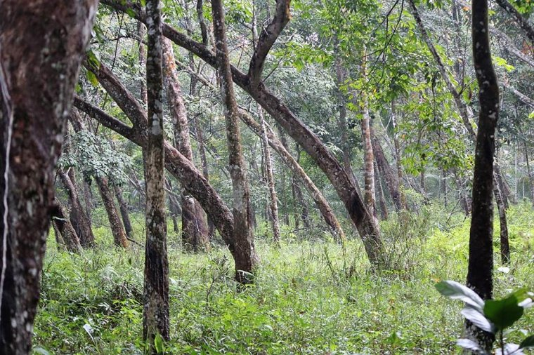 Nieużytkowana plantacja kauczukowca na Sumatrze