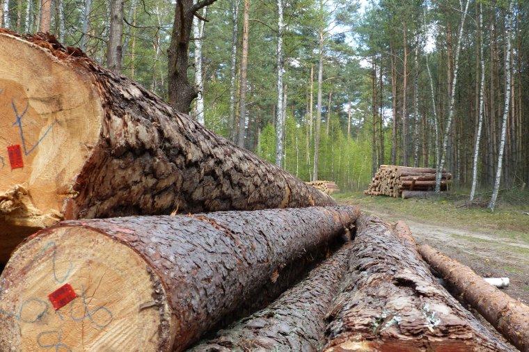Lasy Państwowe pracują nad metodą elektronicznego pomiaru drewna i katalogiem pracochłonności