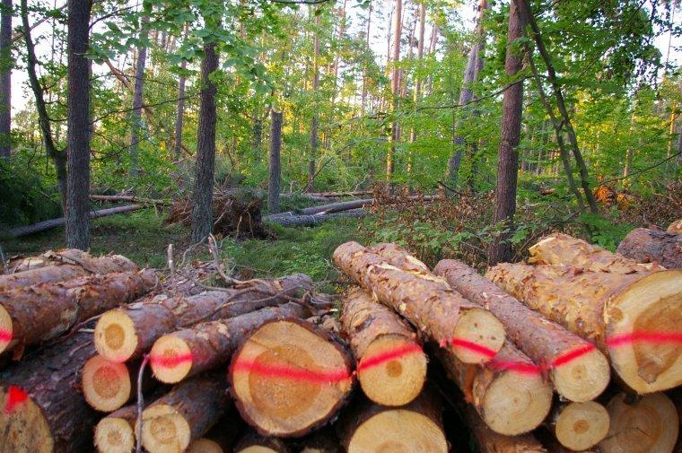 Lasy Państwowe opublikowały zasady sprzedaży drewna z sierpniowych wiatrołomów