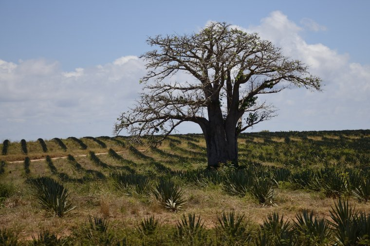 W okresie suszy baobaby są  bezlistne. Tutaj baobab na plantacji agawy sisalana