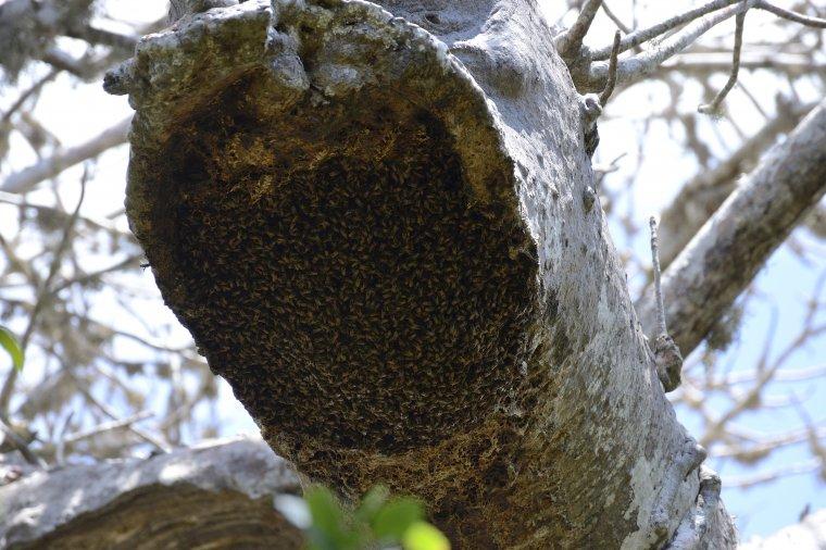 Dzikie pszczoły potrafią przebić miękkie drewno i złożyć miód w otworach baobabu