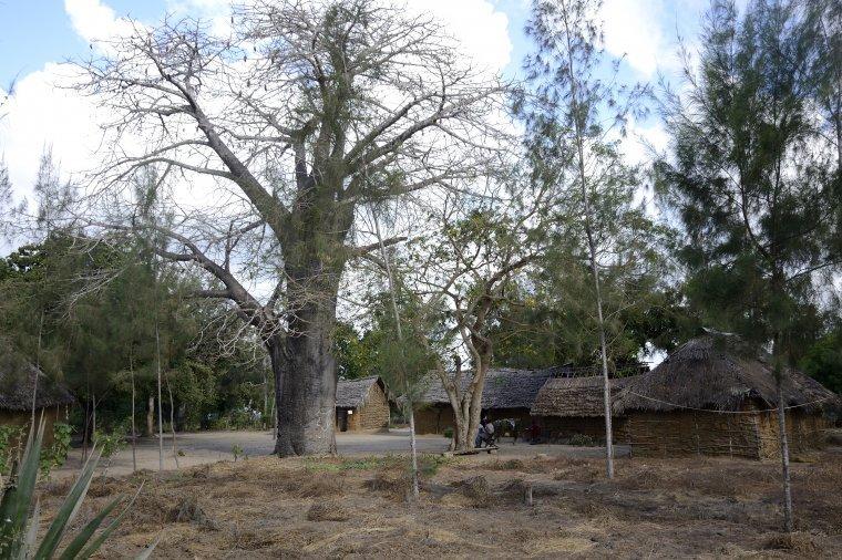 Typowa zabudowa wioski okolicach Watamu. Tu spotyka się bardzo często baobaby