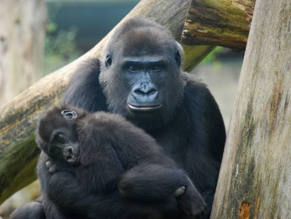 Od przetrwania lasów zależy los goryli górskich