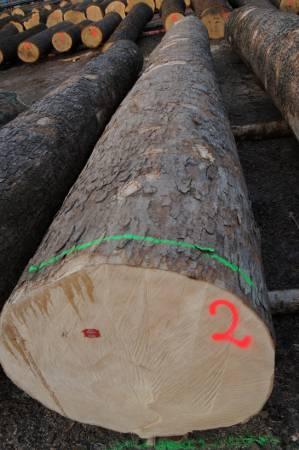 Rekordowa kłoda drewna jaworowego z aukcji w Legnicy