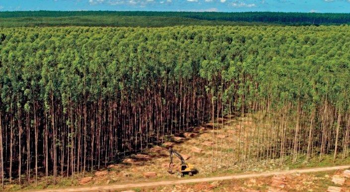 Plantacja eukaliptusów koncernu Suzana z przeznaczeniem na surowiec dla celulozowni