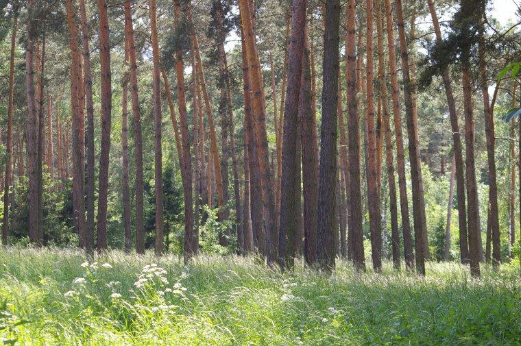 Lasy sosnowe silnym pochłaniaczem CO2