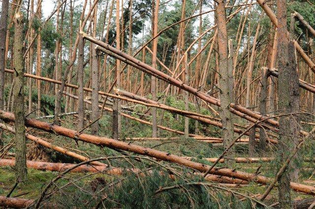 Wiatr miejscami położył nawet 90% drzew
