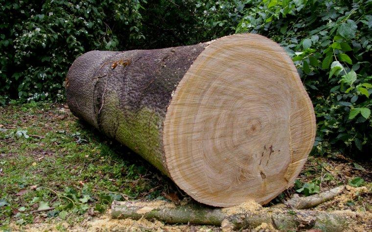 Wycięcie drzewa bez zezwolenia będzie zagrożone mniejszą karą