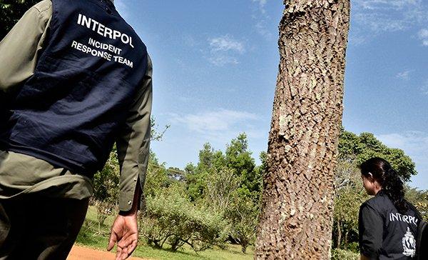 Interpol walczy z nielegalnym pozyskaniem drewna w Ameryce Łacińskiej